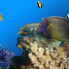 Fishes swimming over coral reef