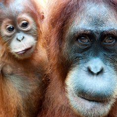 Orangutan mother with her small baby