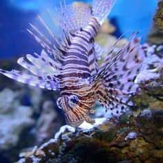 Lionfish Papua New Guinea