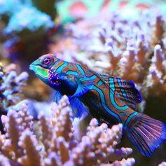 Mandarin fish in aquarium with real coral reef