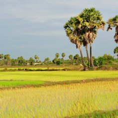 Rice fields with trees between them