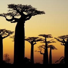 Baobab trees in the evening