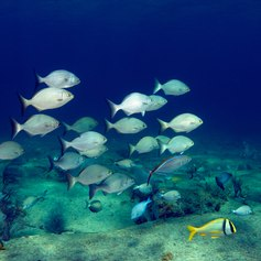 Group of fishes swimming together