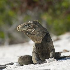 Iguana on the sand in Cuba