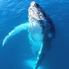 Whale emerging out of the water