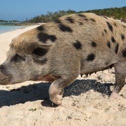 Pig Beach Photo 7