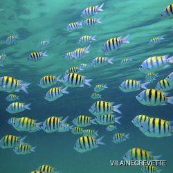 Group of yellow-blue fishes swimming in the Caribbean sea