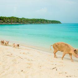 Pig Beach Photo 3