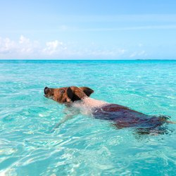 Pig Beach Photo 16