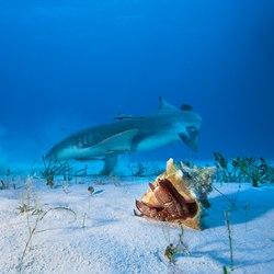 The nurse sharks of Compass Cay Photo 5