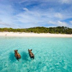 Pig Beach Photo 5