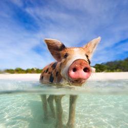 Pig Beach Photo 6