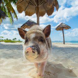 Pig Beach Photo 20