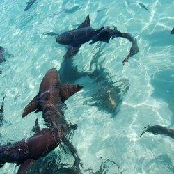 The nurse sharks of Compass Cay Photo 6