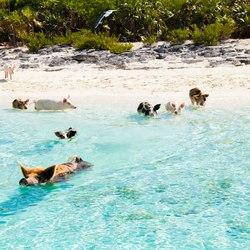 Pig Beach Photo 2
