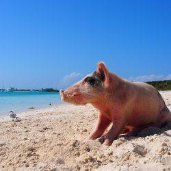 Pig Beach Photo 9