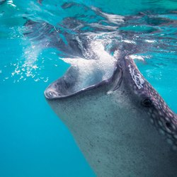 Swimming with whale sharks Photo 5