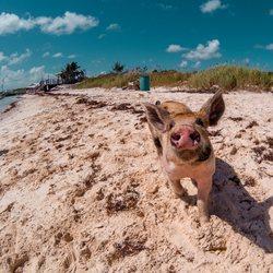 Pig Beach Photo 13