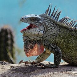Green iguana on the rock