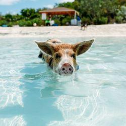 Pig Beach Photo 15