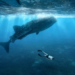 Swimming with whale sharks Photo 3