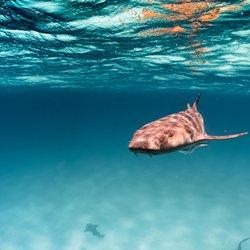 The nurse sharks of Compass Cay Photo 10