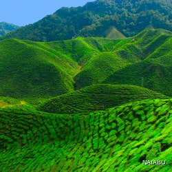 Beautiful tea plantation area