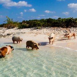 Pig Beach Photo 10