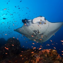 Manta ray getting cleaned