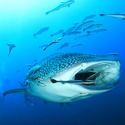 Swimming with whale sharks Photo 6