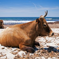 Sleeping Cows on the Rugged Fautea Beach