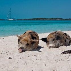 Pig Beach Photo 17
