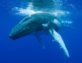 Whale Watch in Tahiti Aboard Sailing Yacht RAPTURE
