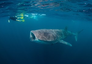 Video: Swimming with Thanda Island's resident whale sharks