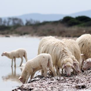 Meet the Sarda Sheep
