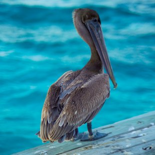 Pelican against the blue sea