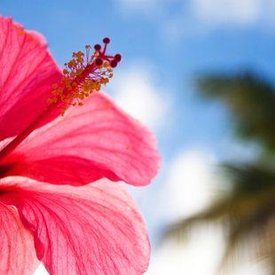 Admire Bahamian Hibiscus Flowers