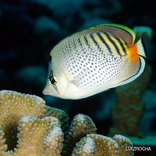 Fish with interesting color pattern and coral reef
