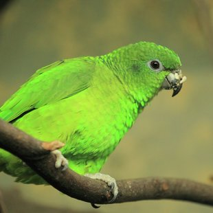 Black-biled amazon