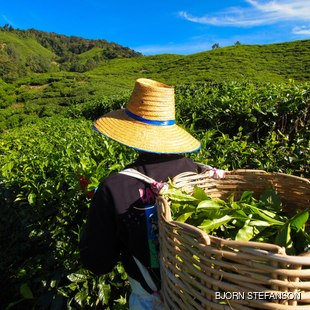 Picking tea leaves in a tea plantation