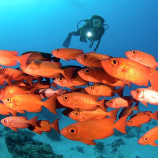 Group of red fish observing by scuba diver