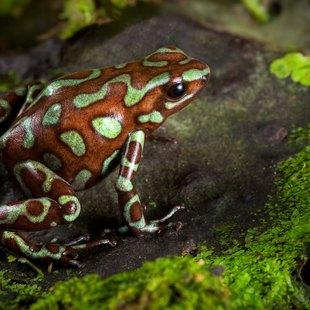 Goden poison dart frog of Panama rain forest