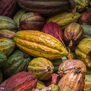 Colourful cocoa pods