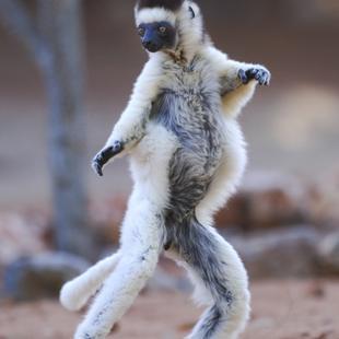 Funny dancing lemur