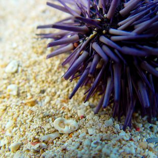 Purple sea urchin on the beach