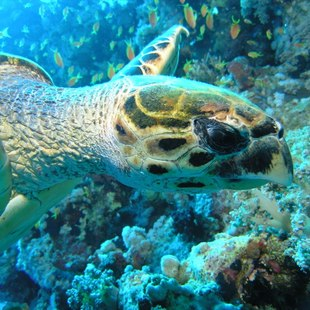 Swim Alongside Green turtles