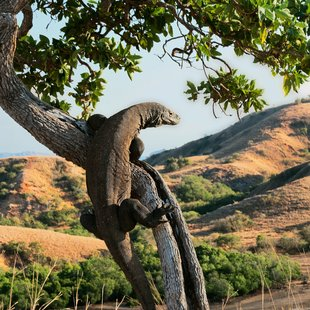 Komodo photo 47