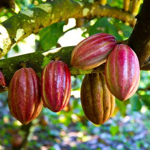 Cocoa fruits on a farm in Belize