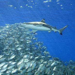 Blacktip reef shark at Uepi in Solomon Islands