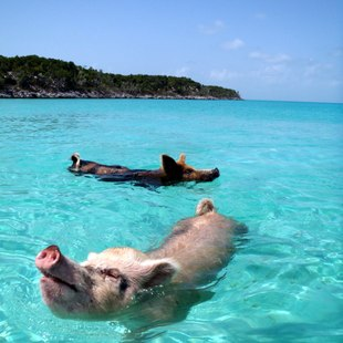 Swimming Bahamian Pigs